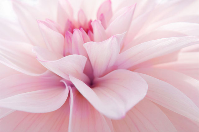 pink dahlia, client endorsements