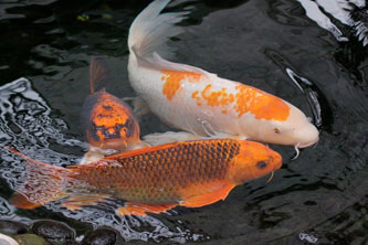 koi fish, deep chakra and intuition training, awakened embodiment,  google calendar, past events