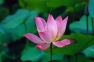 pink lotus in depth chakra awakening, intuition and meditation course